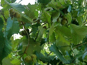 Swamp chestnut oak limb with acorns