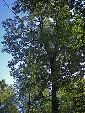 Old swamp chestnut oak tree